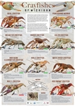 Crayfishes of Michigan